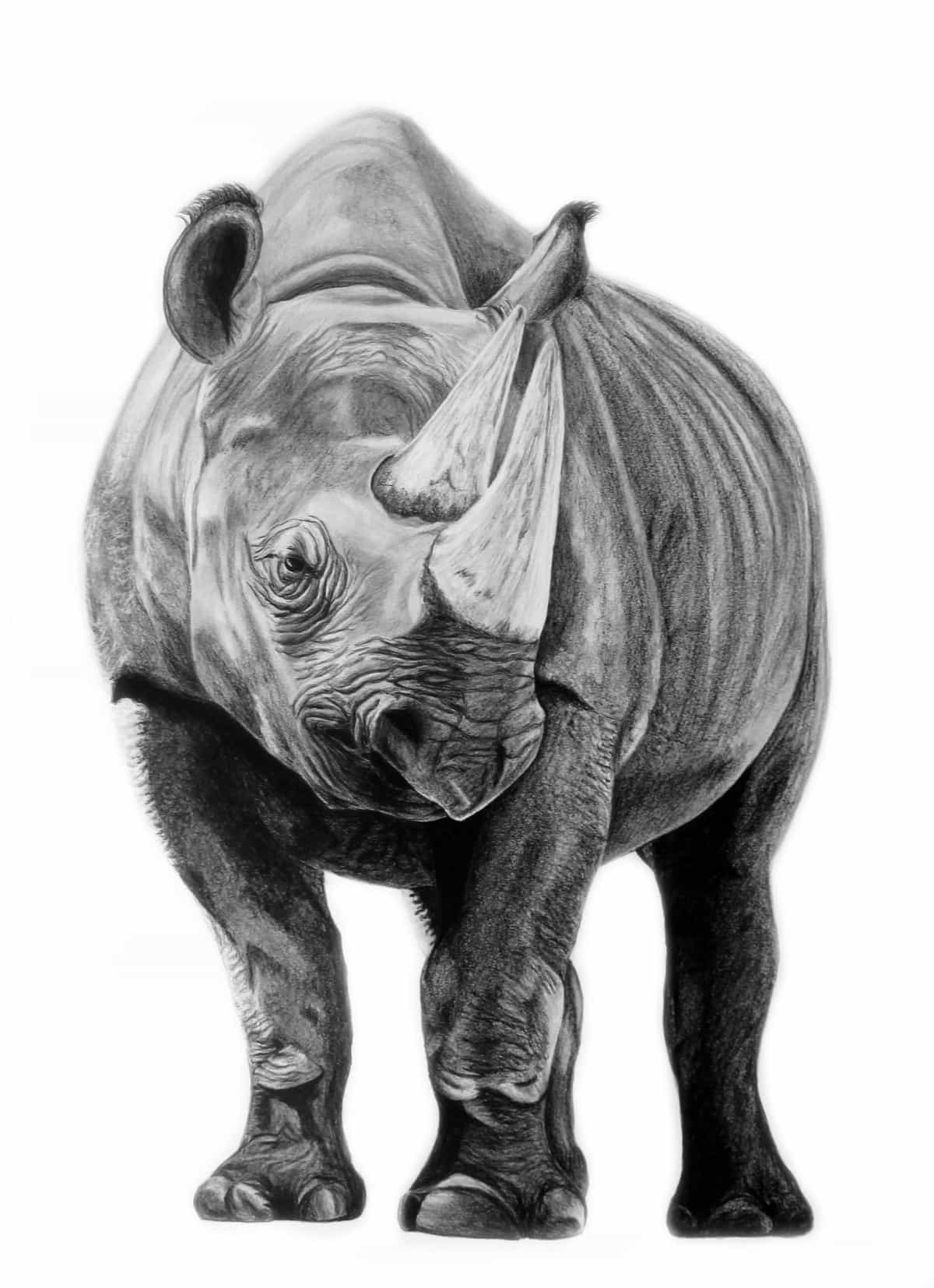 Corinna Thurston, Black Rhino, graphite and colored pencil