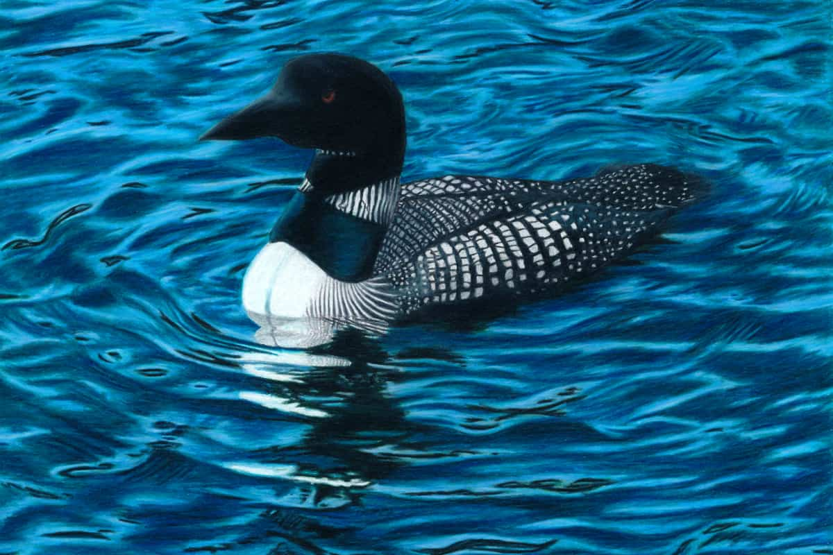 Corrina Thurston, Common Loon colored pencil